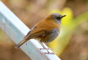 Black-Billed-Nightingale