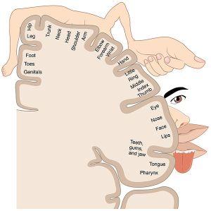 cortical sensory homunculus
